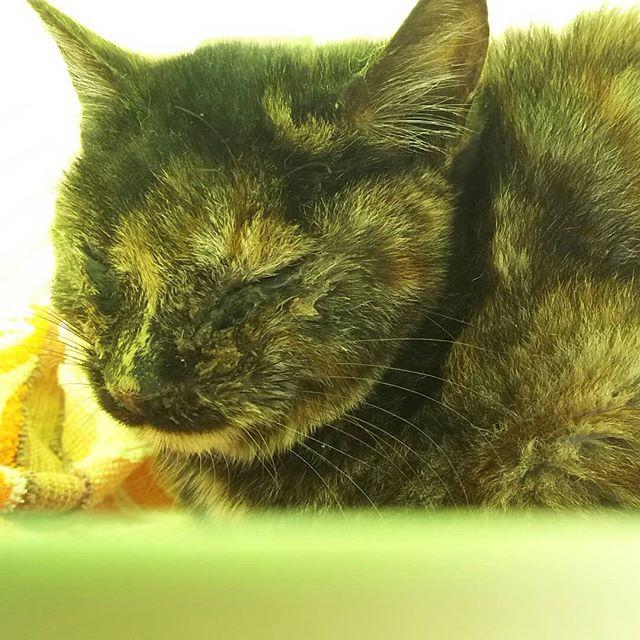 ・・・あけましておめでとうございます(●︎´▽︎`●︎) 私用により早朝出先にいた本日。信号待ちしていたそこそこ大きい道路の真ん中で、2羽のカラスに突つかれフラフラしていた子猫を発見。急いで車から飛び降りて保護しました。そのまま病院で診て頂いたところ、風邪をひき体力が落ちているもののケガはなさそうです。ε-(´∀`*)ヨカッタ3ヶ月位の女の子『祝(しゅく)』チャン。スリスリ~♪ゴロゴロ~♪甘えたさんです風邪を治して体調が落ち着きましたら里親さん探しを開始いたしますのでビビっときた方はお声掛けくださいませヾ(●´∇`●)ノこんな新年のスタート。どんな1年になるのかワクワク♪です。今年もよろしくお願い致します!#猫 #ねこ #ネコ #cats #猫部 #ネコ部 #ねこ部 #にゃんすたぐらむ #保護猫 #保護猫施設 #猫シェルター #アニマルサードアイズ #animal3rdeyes #高齢猫 #安らぎある #終の棲み処 を #目指して #いつもありがとう #新年 #今年もよろしくお願いします #子猫