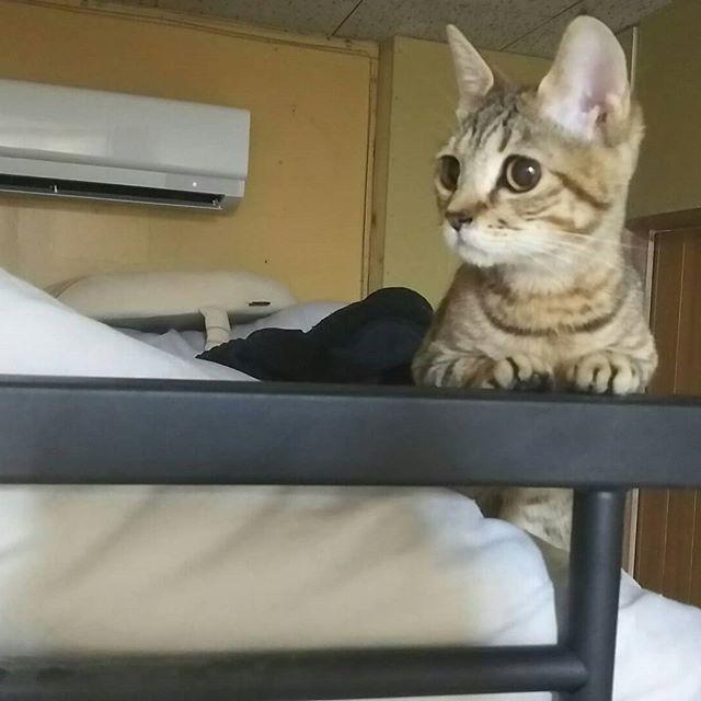 ・・・食後のハッスルタイムになにやら真剣に警戒中の『ひのき』 視線の先は… …スタッフKだよ??知ってるよね?(笑)#猫 #ねこ #ネコ #cats #猫部 #ネコ部 #ねこ部 #にゃんすたぐらむ #保護猫 #保護猫施設 #猫シェルター #アニマルサードアイズ #animal3rdeyes #高齢猫 #安らぎある #終の棲み処 を #目指して #いつもありがとう #巨大食道症 #ひのき