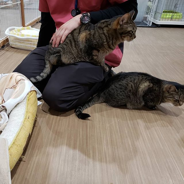 ・・・昨晩の往診で診察中の先生へシレッとお膝をゲットする『猫バス』とそっとナデコを要求する『みっちゃん』 そしてにゃんこ達の要求にその都度優しく答えてくれる先生ほっこりな時間。#猫 #ねこ #ネコ #cats #猫部 #ネコ部 #ねこ部 #にゃんすたぐらむ #保護猫 #保護猫施設 #猫シェルター #アニマルサードアイズ #animal3rdeyes #高齢猫 #安らぎある #終の棲み処 を #目指して #いつもありがとう