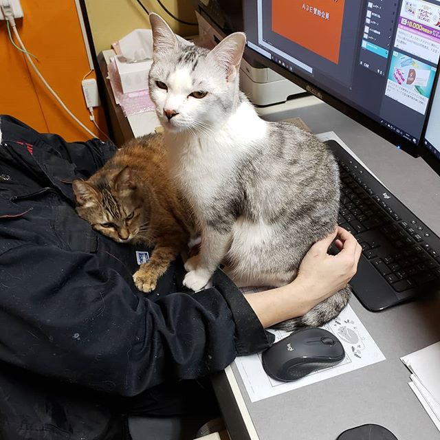 ・・・事務仕事を始めると、とたんにコレだ!キーボード遠いしなぁ~仕事できないなぁ~困ったなぁ~あぁ困ったなぁ~かわいいなぁ~決してサボっているわけではありません~あはははは。#猫 #ねこ #ネコ #cats #猫部 #ネコ部 #ねこ部 #にゃんすたぐらむ #保護猫 #保護猫施設 #猫シェルター #アニマルサードアイズ #animal3rdeyes #高齢猫 #安らぎある #終の棲み処 を #目指して #いつもありがとう