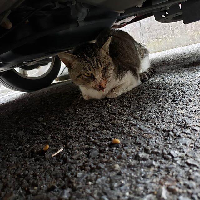 ・・・ 「事故にあったのか衰弱している猫がいる」連絡を受け現場へ行ってきました。初めは車の下に身を隠していたのですが、誘導に失敗してしまい近くの側溝内に入ってしまいました。水の中に入って捕獲を試みるも…私Mでは体の規格オーバー(これほど自身の体格を恨んだことはありません) ので、急遽作業中のKも呼び出して暗ぁ~い狭ぁ~い側溝にスルスルと入ってもらい当該猫さんを誘導。通りすがりの方なども見守ってくれる中、無事保護できました。そのまま病院へ直行し診察をうけましたが、衰弱原因は、事故などのケガでは無さそう。しかし、エイズ・白血病 共に陽性のダブルパンチ。猫風邪が根源なのかダブル発症が原因なのかはわかりませんが、腹水が溜まっていることもあって容態はかなり悪いです。駆虫ですらできる状態ではないとのことでした。それでも、できることは精一杯やっていただけるようそのまま入院をさせていただいています。そこそこ若そうな未去勢の男の子。外で生きるということは私たちが思っている以上に過酷です。普通に生きる事すらままならない。人知れず、苦しみに耐えて怖さに怯えながらこの世を去っていく命がまだまだ溢れるほど存在することを知ってください。 『しんや』頑張れ!おいしいご飯とあったかいベッドを用意して待ってるから!#猫 #ねこ #ネコ #cats #猫部 #ネコ部 #ねこ部 #にゃんすたぐらむ #保護猫 #保護猫施設 #猫シェルター #アニマルサードアイズ #animal3rdeyes #高齢猫 #安らぎある #終の棲み処 を #目指して #いつもありがとう