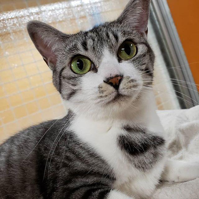 ・・・どんなにひっくり返って爆睡していても、カメラを向けると( ˙꒳˙ )スンッっと美しいポーズを決めて胸のワンポイントを見せてくれる『めめ』 だからどの写真も同じ顔 (」゚Д゚)」めンめめめめめぇーーーーって呼ぶと小走りですぐに来てくれるかわえぇ女子です(*´ω`*) #猫 #ねこ #ネコ #cats #高齢猫 #保護猫 #保護猫施設 #猫シェルター #animal3rdeyes #アニマルサードアイズ #安らぎある #終の棲み処 を #目指して #いつもありがとう