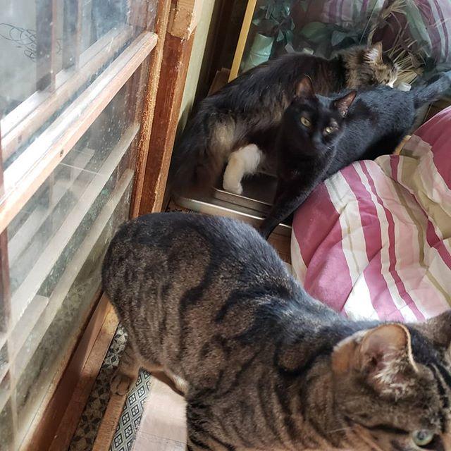 ・・・先週相談を受け、現地確認や搬送受け入れの準備をしてきた猫さんたち。本日、お迎えに行ってきます。たぶん8匹全てが高齢猫だと思われます。一人暮らしの高齢の飼い主さんが、我が子のように育ててきた子達。不慮の事故により自宅で亡くなってしまった飼い主さんはこの子達に計り知れない想いを残したままだと思うとあまりに切ないです。そして、自宅で倒れた飼い主さんに寄り添い過ごしたこの子達の想い....... 周りの方にお話をうかがうと、みなさん口を揃えて言うんです。「猫たちを本当に大事にしていた」と。そんな飼い主さんのためにも、突然残されてしまったこの子達のためにも、1日も早く穏やかな環境を整えたいと思います。今日、慣れ親しんだ家を出ます。必要な医療などを行い、今週中にはシェルターへ仲間入りする予定。このおじいちゃん&おばあちゃんをあたたかくお見守りくださいませ。#猫 #ねこ #ネコ #cats #高齢猫 #保護猫 #保護猫施設 #猫シェルター #animal3rdeyes #アニマルサードアイズ #安らぎある #終の棲み処 を #目指して #いつもありがとう