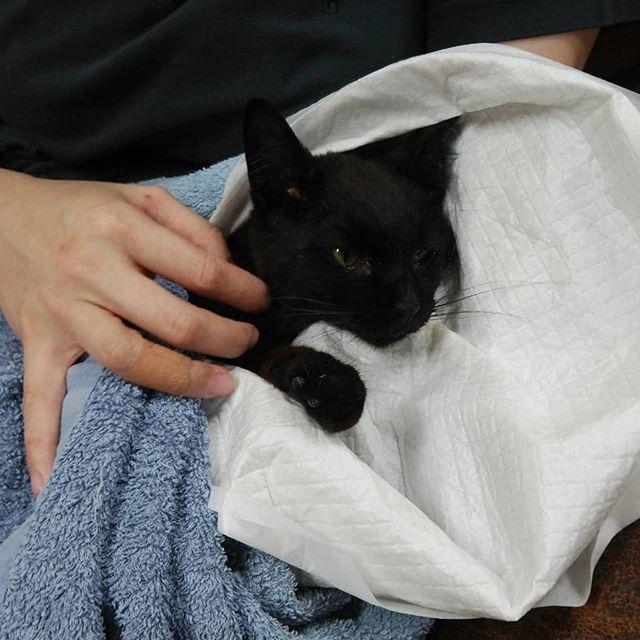 ・・・先月29日に仲間入りした『黒ちゃん』本日0時05分 私の腕の中で静かに旅立ちました。すでにFIP(猫伝染性腹膜炎)を発症していた小さな命は生後10ヶ月。片脚先を欠損していながらもこれまでお外で頑張って生きてきました。そんな中でも、『黒ちゃん』に触れる周りの皆さんのあたたかさに包まれていたからこそとっても優しいおだやかな『黒ちゃん』だったのだと思います。FIPという病気がどれほど残酷なものか.......それを考えると、せめて残されたわずかな時間だけでもあたたかな場所で過ごしてもらいたいと思ったんです。慣れ親しんだ場所ではなくここで暮らすということは『黒ちゃん』にとっては負担にしかならないかもしれない。エゴ。未だにどうするべきだったのか答えはわかりません。答えを知っているのは『黒ちゃん』だけだもんね。お預かりした初日に膝の上に乗ってくれた事、お部屋の掃除をしている間ずっとノドをコロコロ鳴らしてくれていた事、直前までゆっくりだけど一生懸命ご飯を食べてくれた事、こちらを見上げてお話してくれた事、私達が『黒ちゃん』と過ごせたのは1週間という短い時間でしたが、どれも私達にとって大切な宝物です。 『黒ちゃん』にも宝物を持たせてあげられてたらいいな。黒ちゃん。A3Eに来てくれてありがとう。今はゆっくりおやすみよ。またね。#猫 #ねこ #ネコ #cats #高齢猫 #保護猫 #保護猫施設 #猫シェルター #animal3rdeyes #アニマルサードアイズ #安らぎある #終の棲み処 を #目指して #いつもありがとう