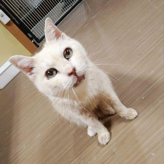 ・・・ 『まるこ』おばあチャンは、起きている間はずっーーとおいしい缶詰を要求。ヾ(・∀・`o)ネェネェヾ(・∀・`o)ネェネェヾ(・∀・`o)ネェネェ外は暴風域だけど、『まるこ』には関係ないのです。3年間耐えたお外での生活はもう覚えていないかな。よかよか。#猫 #ねこ #ネコ #cats #高齢猫 #保護猫 #保護猫施設 #猫シェルター #animal3rdeyes #アニマルサードアイズ #安らぎある #終の棲み処 を #目指して #いつもありがとう