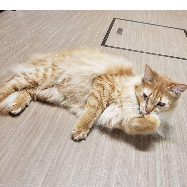 ・・・よし!(๑•̀ㅂ•́)و✧ナニかを静かに決意した『とな』チャン。  ω• `).......なんだろ… #猫 #ねこ #ネコ #cats #高齢猫 #保護猫 #保護猫施設 #猫シェルター #animal3rdeyes #アニマルサードアイズ #安らぎある #終の棲み処 を #目指して #いつもありがとう