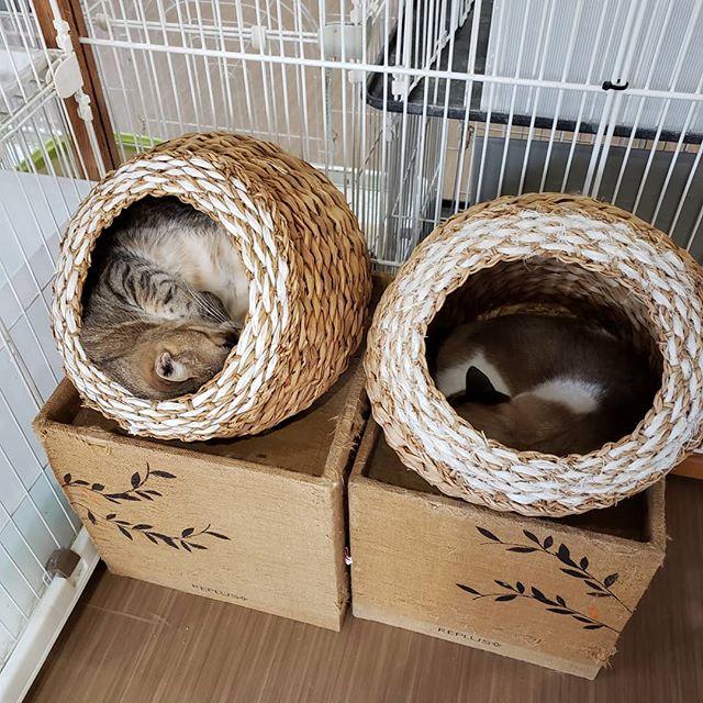 ・・・ちょっと待って!ちょっと待って! .......( つω-。 ` )ゴシゴシ.......目の錯覚?! カゴの大きさ一緒だよね?スペースの違いに笑ってしまった図。 『ごま』(8kg)、入れました(*´꒳`ノノ゙パチパチ・・#猫 #ねこ #ネコ #cats #高齢猫 #保護猫 #保護猫施設 #猫シェルター #animal3rdeyes #アニマルサードアイズ #安らぎある #終の棲み処 を #目指して #いつもありがとう
