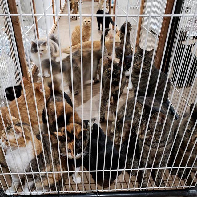 ・・・猫さんのお部屋移動があり1階でガタゴトやっていた夜中。2階に部品を取りにあがったらば....... Σ( ˙꒳˙ )!? 気になるマン達がいっぱい集まっていましたとさ。 .......え。#猫 #ねこ #ネコ #cats #高齢猫 #保護猫 #保護猫施設 #猫シェルター #animal3rdeyes #アニマルサードアイズ #安らぎある #終の棲み処 を #目指して #いつもありがとう