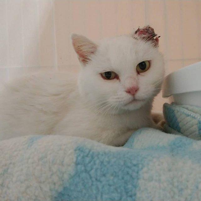 """・・・扁平上皮癌を患った『マシュマロ』チャンが仲間入りしました。保護主さんの職場敷地内に突然フラりと姿を現して、周りの方々にも恵まれとても可愛がっていただいていたようです。ある日、耳にケガをを負っているのを確認。保護主さんは『マシュマロ』ちゃんの耳のケガのを治療してもらうためにすぐに病院へ連れて行ってくださいました。そこで診断されたのが""""扁平上皮癌""""術後のケアや病気の経過も慎重にしていかなくてはならない山。保護主さんの現在の環境では『マシュマロ』ちゃんの全てを迎え入れることが出来ない歯痒さと、なんとか『マシュマロ』ちゃんの命を救いたい。という思い。そして『マシュマロ』ちゃん自身の心の中....... 何が一番『マシュマロ』ちゃんにとって最善なのか、とてもとても悩んでいらっしゃいました。お外で暮らしていたこの子が、こんなにも想ってもらえる事になんだか涙が出そうだったの。。 『マシュマロ』ちゃんの笑顔をこれから先に繋げるように、命のバトン受け取りました。保護主さん。本当に本当にありがとう。 『マシュマロ』ちゃん。手術がんばろうね!ずっとずっと幸せな時間を送れますように。#猫 #ねこ #ネコ #cats #高齢猫 #保護猫 #保護猫施設 #猫シェルター #animal3rdeyes #アニマルサードアイズ #安らぎある #終の棲み処 を #目指して #いつもありがとう #扁平上皮癌"""