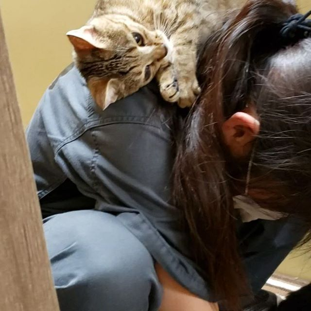 ・・・ 『ひのき』嬢の激しすぎる愛の表現に変な悲鳴をあげて喜ぶスタッフ。なんとも微笑ましい過ぎて、何回も見ちゃう。 (´∀`*)ウフフ#猫 #ねこ #ネコ #cats #高齢猫 #保護猫 #保護猫施設 #猫シェルター #animal3rdeyes #アニマルサードアイズ #安らぎある #終の棲み処 を #目指して #いつもありがとう