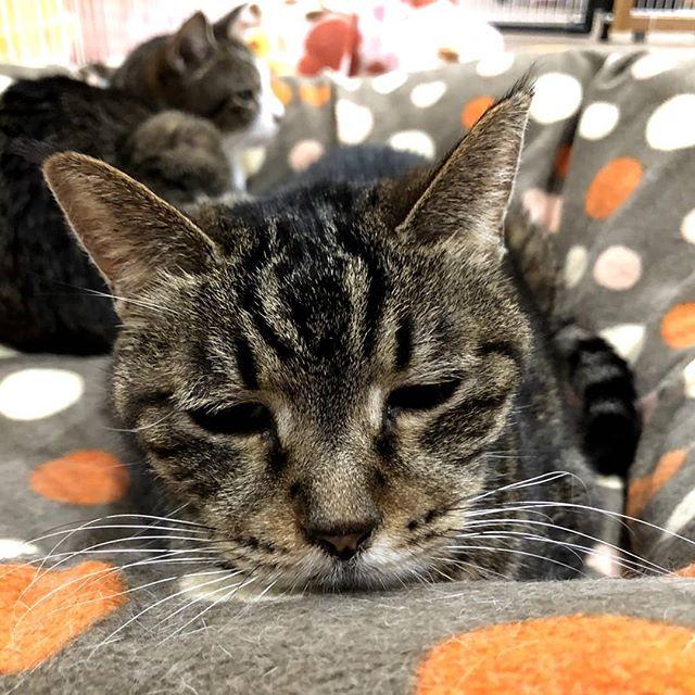 ・・・ 『猫バス』おばあちゃん団体設立当初から隣にいてくれている重鎮です。活動を始めて12年め。出会って13年。お互い、歳とったねぇ#猫 #ねこ #ネコ #cats #高齢猫 #保護猫 #保護猫施設 #猫シェルター #animal3rdeyes #アニマルサードアイズ #安らぎある #終の棲み処 を #目指して #いつもありがとう