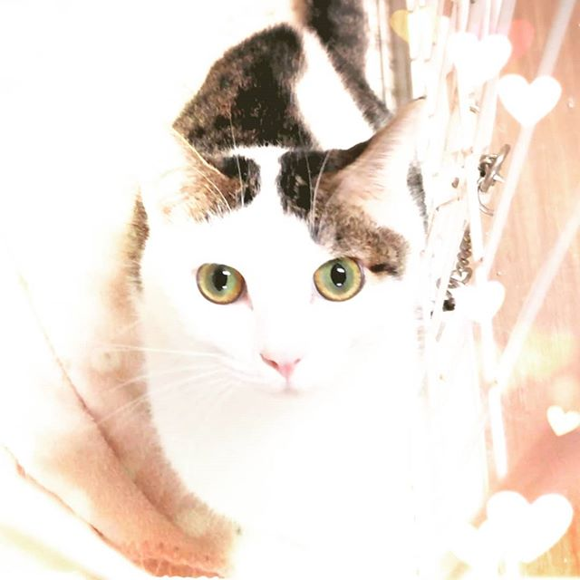 ・・・まっすぐにまっすぐに。いつもまっすぐに見ていてくれる目が大好きなのよ。#猫 #ねこ #ネコ #cats #高齢猫 #保護猫 #保護猫施設 #猫シェルター #animal3rdeyes #アニマルサードアイズ #安らぎある #終の棲み処 を #目指して #いつもありがとう