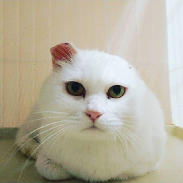 """・・・扁平上皮癌のため、患部であった""""耳先""""の切除手術をがんばった『マシュマロ』 患部もすっかり綺麗になり、食欲も旺盛で少しふっくらしたかな?週明けあたりに2階のスペースへ移動予定です。みんなと早く仲良くなれるといいねまん丸お顔の『マシュマロ』をよろしくお願いしますฅ(´ω` ฅ)ニャー#猫 #ねこ #ネコ #cats #高齢猫 #保護猫 #保護猫施設 #猫シェルター #animal3rdeyes #アニマルサードアイズ #安らぎある #終の棲み処 を #目指して #いつもありがとう #扁平上皮癌"""