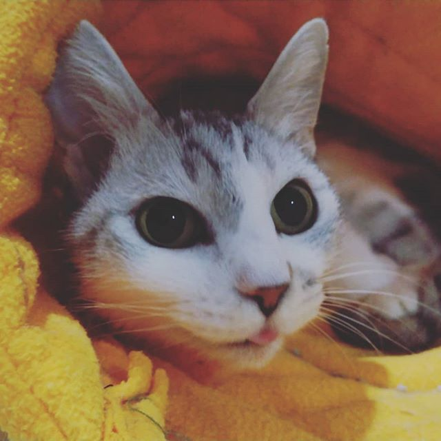 ・・・ペロんちょ 『ひらめ』おばあちゃんお゛ーい゛お゛ーい゛とお話するよ🤗16~7歳くらいになると始まるこの鳴き方。何かしらの体調の変化を訴えてる事が多いです。みなさんのお家の猫さんはどうですか?#猫 #ねこ #ネコ #cats #高齢猫 #保護猫 #保護猫施設 #猫シェルター #animal3rdeyes #アニマルサードアイズ #安らぎある #終の棲み処 を #目指して #いつもありがとう