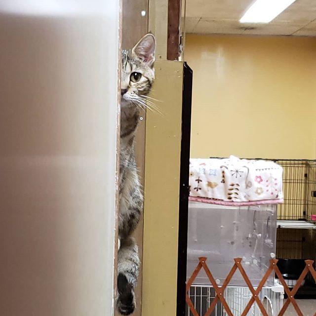 ・・・ 『ひのき』嬢にめっちゃ監視されてます。。。なう。#猫 #ねこ #ネコ #cats #高齢猫 #保護猫 #保護猫施設 #猫シェルター #animal3rdeyes #アニマルサードアイズ #安らぎある #終の棲み処 を #目指して #いつもありがとう #巨大食道症 #ひのき