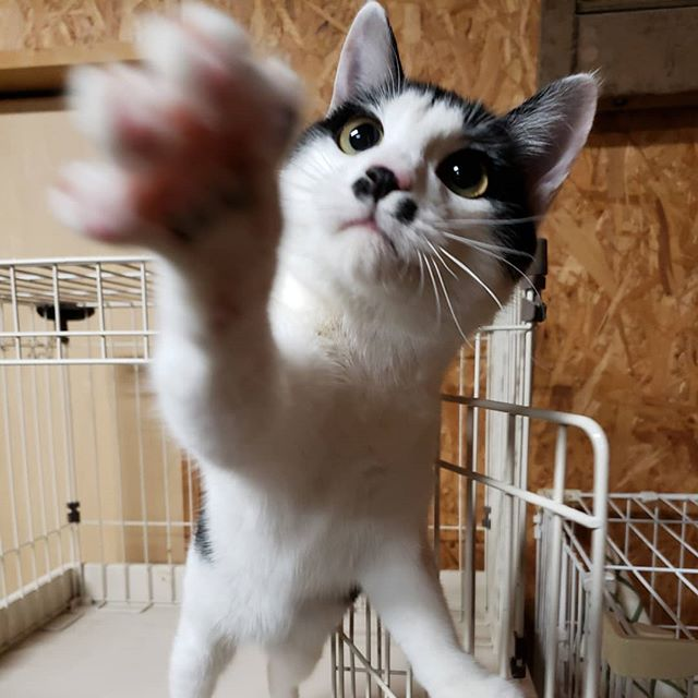 ・・・ 【お知らせ】12/16(月)~12/21(土)は諸事情により、シェルター公開をお休みさせていただきます。12/22(日)~通常公開 12/31(火)1/1(水)1/2(木)も通常通り公開予定です みなさまお誘い合わせの上、ぜひにゃんこ達に会いに来てくださいฅ(´ω` ฅ)ニャー#猫 #ねこ #ネコ #cats #高齢猫 #保護猫 #保護猫施設 #猫シェルター #animal3rdeyes #アニマルサードアイズ #安らぎある #終の棲み処 を #目指して #いつもありがとう