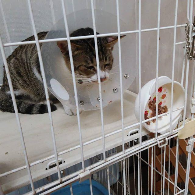 ・・・押しやってしまったご飯のお皿をどうしてやろうか考え中の『うり』クン🤣白血病陰転を目ざして、免疫力をあげるためのお薬やサプリもおりこうに飲んでくれます。食欲もモリモリ早く良くなぁれ 【ブログ更新しました】https://profile.ameba.jp/ameba/animal3rdeyes#猫 #ねこ #ネコ #cats #高齢猫 #保護猫 #保護猫施設 #猫シェルター #animal3rdeyes #アニマルサードアイズ #安らぎある #終の棲み処 を #目指して #いつもありがとう