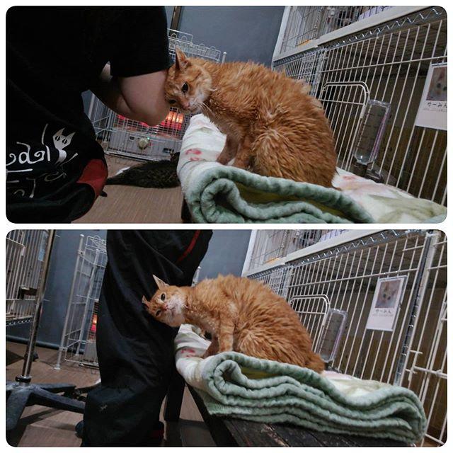 ・・・要看護室での皮下点滴の時間。自分の番が終わった後は他の子のケア中であってもひたすらナンパに励む『きなこ』おじいさん🤣ワシと~一緒に~らんでぶーー~ かわいすぎ#猫#ねこ#ネコ#cats#高齢猫#保護猫#保護猫施設#猫シェルター#animal3rdeyes#アニマルサードアイズ#安らぎある#終の棲み処 を#目指して#いつもありがとう