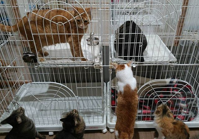"""・・・供血を頑張ってくれた『だいち』(左茶トラ) と『えん』(右キジトラ)にお礼の""""ごちそう""""タイム と、とりまくハンター達🤣#猫#ねこ#ネコ#cats#高齢猫#保護猫#保護猫施設#猫シェルター#animal3rdeyes#アニマルサードアイズ#安らぎある#終の棲み処 を#目指して#いつもありがとう"""