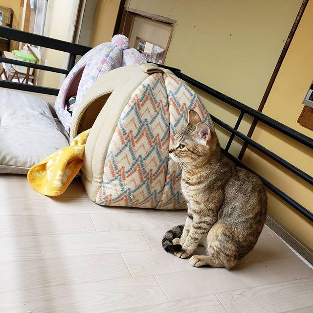 """・・・ 『ひのき』嬢 御用達の""""かまくら""""を並べてみたら 『ひのき』嬢も一緒に並んでるwなぜ?いちいち かわいすぎ#猫#ねこ#ネコ#cats#高齢猫#保護猫#保護猫施設#猫シェルター#animal3rdeyes#アニマルサードアイズ#安らぎある#終の棲み処 を#目指して#いつもありがとう#巨大食道症#ひのき"""
