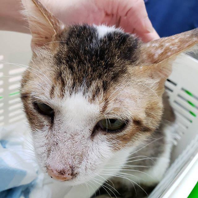 ・・・昨日、多頭飼育崩壊のお家から膀胱麻痺の疑いだった『ブイ』くんが仲間入りしました。本日改めてお世話になっている病院で受診膀胱麻痺の疑いは晴れそうで安心したのも束の間、腎数値振り切りそのまま入院をさせていただいています。元気になあれ#猫#ねこ#ネコ#cats#高齢猫#保護猫#保護猫施設#猫シェルター#animal3rdeyes#アニマルサードアイズ#安らぎある#終の棲み処 を#目指して#いつもありがとう#多頭飼育崩壊#腎機能障害#ブイ