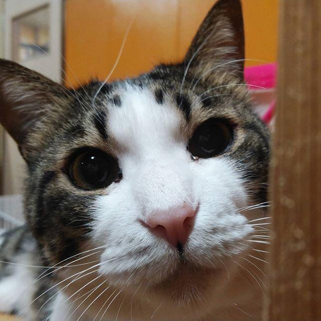 """・・・迷子のワンコさんの件でご協力くださったみなさま、ありがとうございましたこちらは、宿題が終わらない私を心の底から""""憐れ""""む『ぶどう』くんです。。。やばい、ぞ(*꒪⌓꒪)#猫#ねこ#ネコ#cats#高齢猫#保護猫#保護猫施設#猫シェルター#animal3rdeyes#アニマルサードアイズ#安らぎある#終の棲み処 を#目指して#いつもありがとう#ぶどう"""