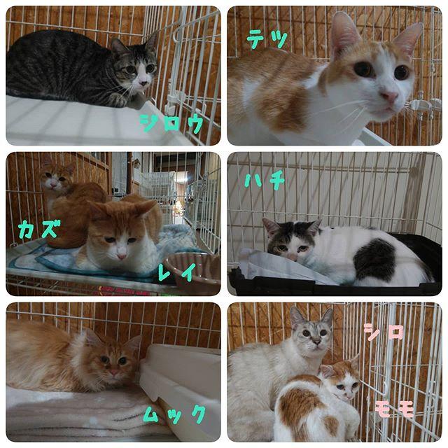・・・飼い主さんの諸事情により一時お預かりをする事になった『ハチ』『テツ』『ムック』『ジロウ』『モモ』『シロ』『カズ』『レイ』8匹が仲間入りしました。全員、エイズキャリア です。どうかどうか無事に再び飼い主さんと一緒に暮らせますように。みんな、頑張ろね#猫#ねこ#ネコ#cats#高齢猫#保護猫#保護猫施設#猫シェルター#animal3rdeyes#アニマルサードアイズ#安らぎある#終の棲み処 を#目指して#いつもありがとう#FIVキャリア#テツ#ハチ#レイ#カズ#ムック#シロ#モモ#ジロウ